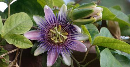 Passiflora-integratore-sonno-riposo