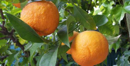 Citrus-aurantium-metabolismo